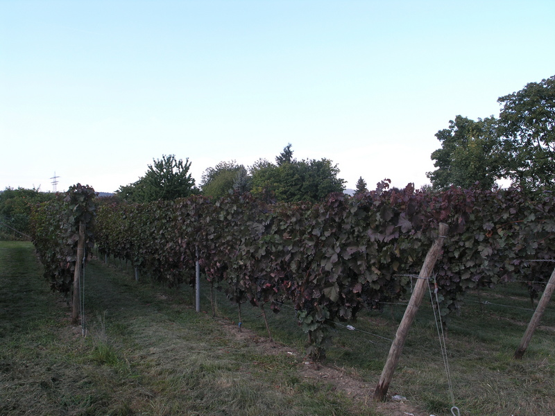 A small grape field on the opposite corner