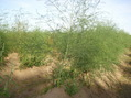 #10: Asparagus growing at the confluence point