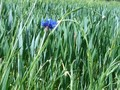 #8: Cornflower in its natural habitat