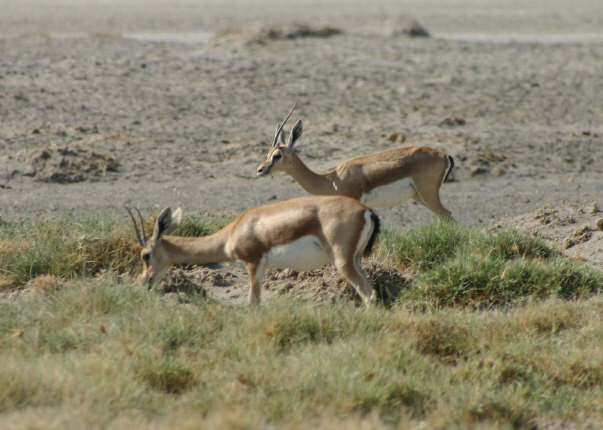Gazelles as we neared Lake Abhé