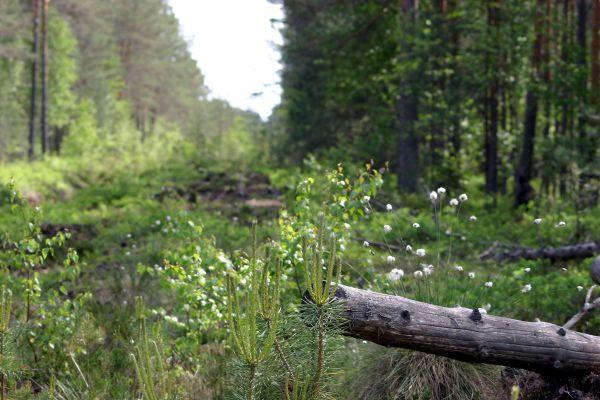 Summer forest, wiev to zero. South-East Estonia.