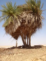 #9: One cluster of the palm trees at Bi'r Nukhayla