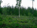 #4: A lone birch left to guard the clearing we walked across on our way to the confluence.