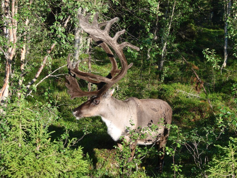 Nationalpark Reindeer / Nationalpark Rehntier
