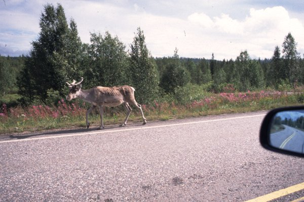 Reindeer alongside the road