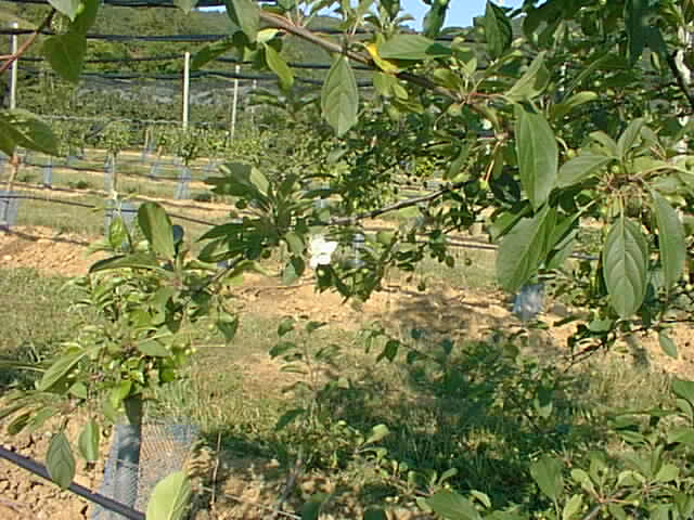 One of the young apple trees