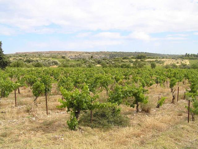the vineyard near Sigean