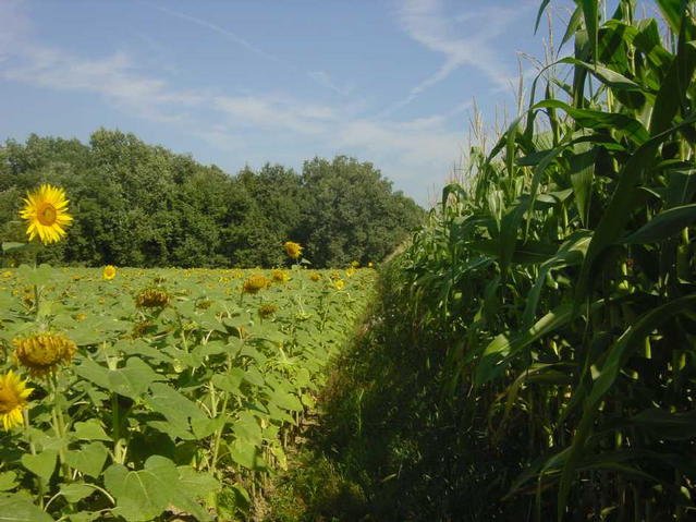Heading North, the path between sunflowers and corn