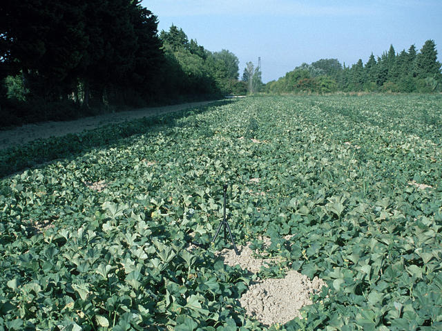 View of the confluence point in the middle of a melon field