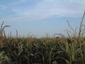 #2: View to the north: corn again