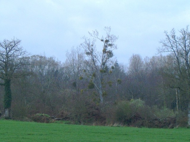 Tree with mistletoe