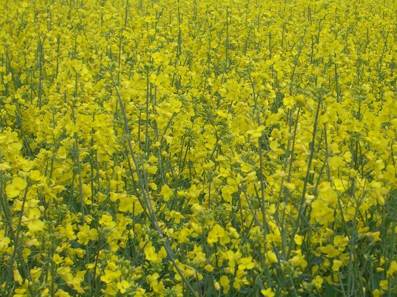 Rapeseed in full colours and full detail