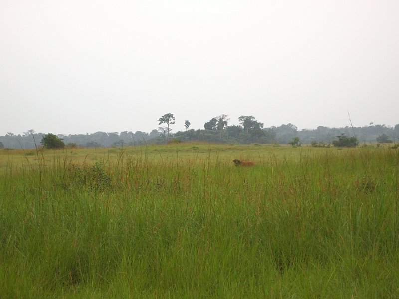 One African buffalo observing two confluence hunters