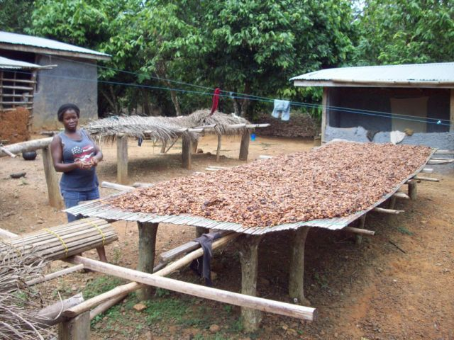 Cocoa drying on a rack