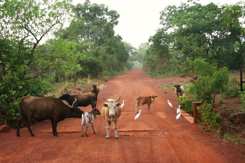 Cows on the track between Kankan and Gbötöla