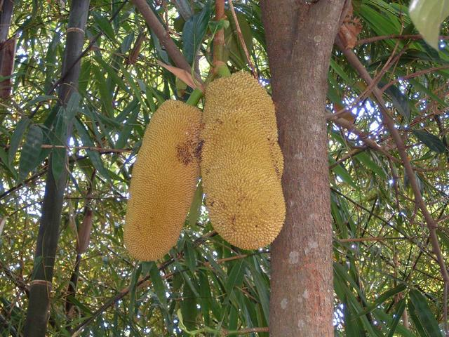 Many jackfruit trees grow along the river