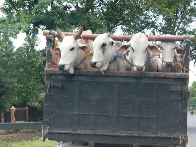 on the road near purwodadi - a bunch of sad cows about to become someones Idul Adha feast