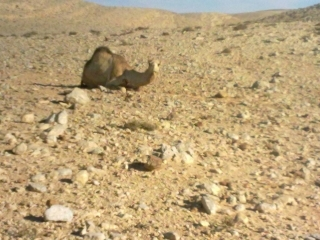 This is the wounded camel that we saw