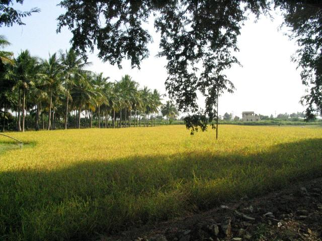 View from the Katpadi-Gudiyatham road: beyond the fields is the railway line.