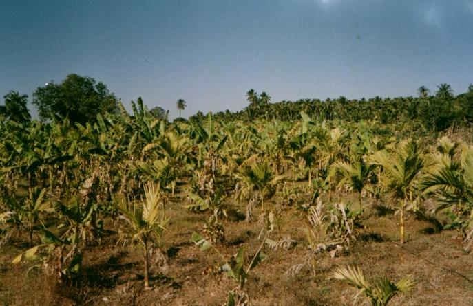 Banana plantation 30 meters from 14N76E