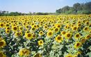 #8: Sunflower farm near 14N77E