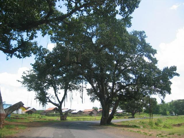 A Liane covered Tree and a Village nearby