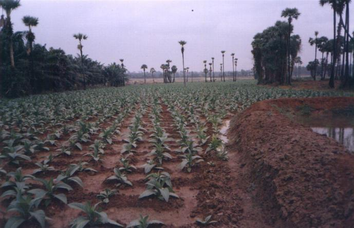Tobacco farm near 17N81E