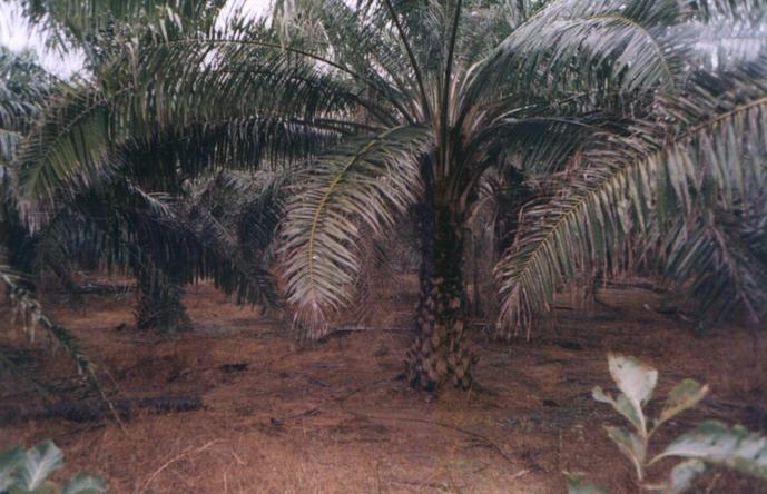Palm plantation near 17N81E