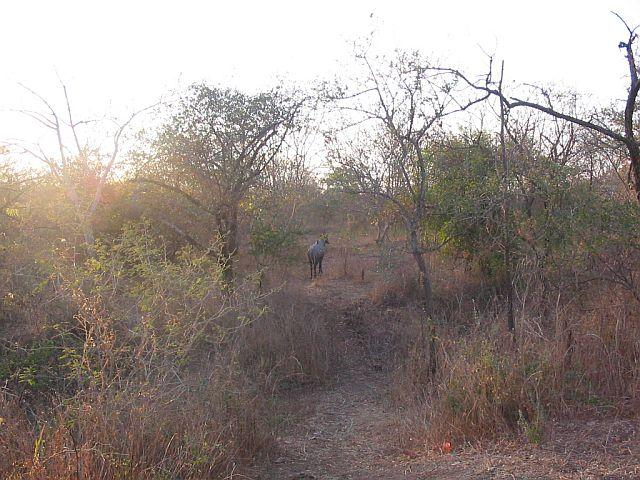 Spotted a Nilgai (Indian Antelope) on the way