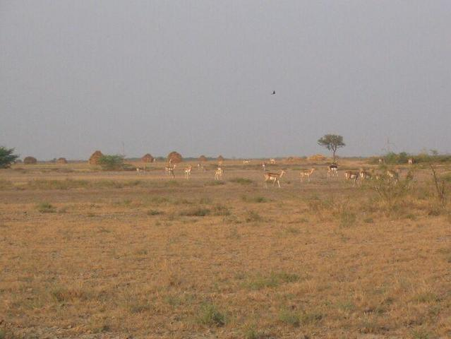 Herd of Black Bucks near Confluence Point