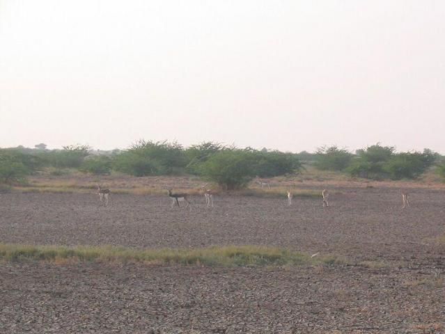 One Black Buck male and six females