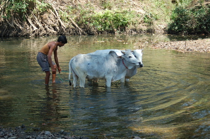 Washing bullocks in the river