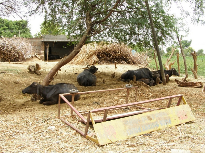 Dairy farm near Lakshmipura with water buffalo