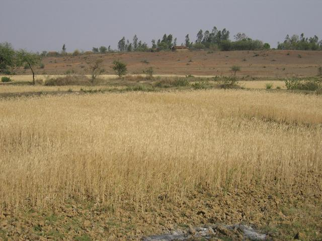 View from the confluence showing the nearby wheatfields and houses