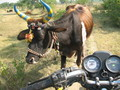 "#4: A decorated cow passing me on the last ""road"" that the motorbike would take."