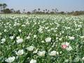 #8: Poppy field for ever!