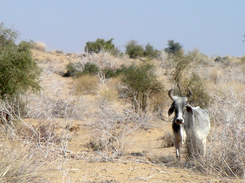 A cow near the confluence