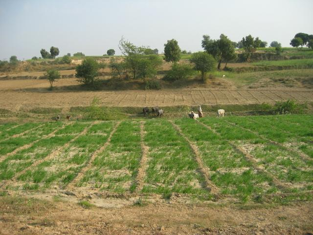 Wheat growing on the bank of the Khari river
