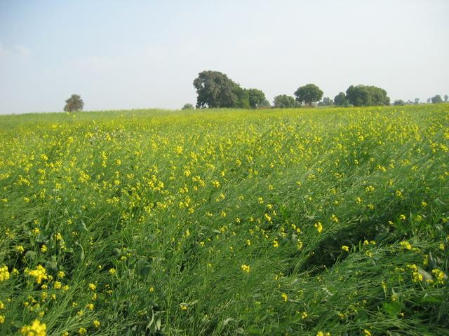Mustard fields near the confluence