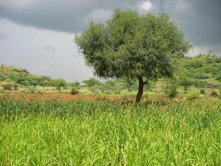 #1: View from the CP, in the Sorghum (jawar) field