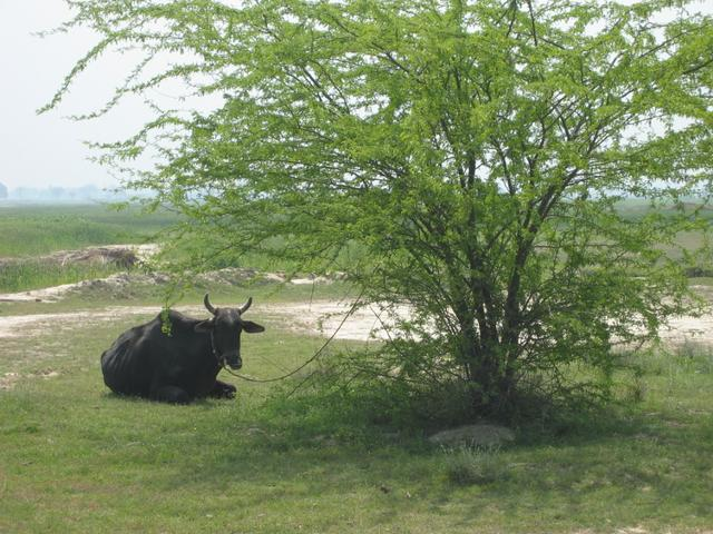 A sleeping cow 800m from the confluence