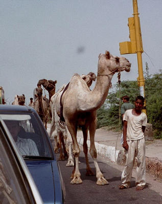 Camel Caravan on highway back to New Delhi