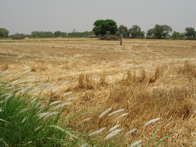 Wheat growing near the CP
