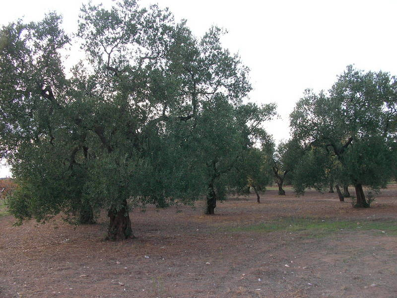 Olives harvest in the area. Olivares de la zona