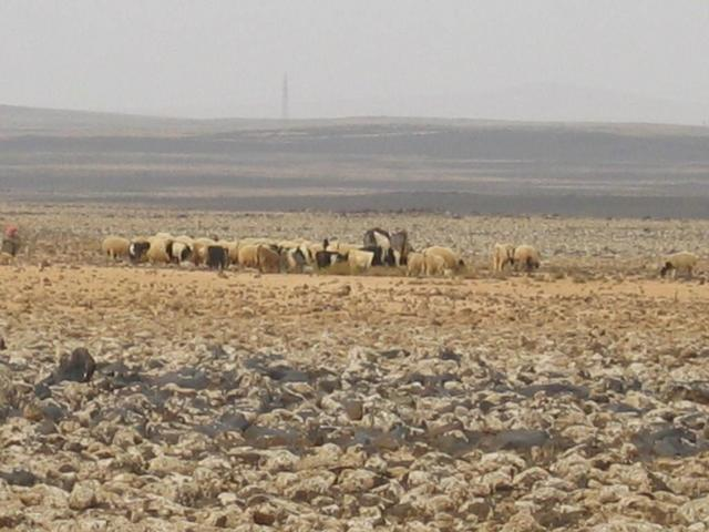 Sheep in the NW direction