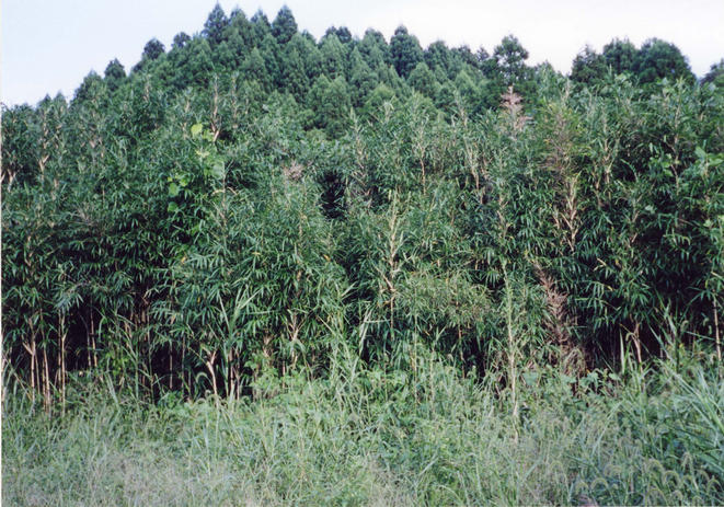 A wall of bamboo
