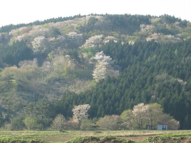 Blooming cherry trees on hill behind the confluence which is in front of blue shack.