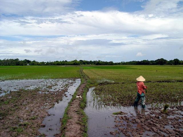 More paddy fields (west)