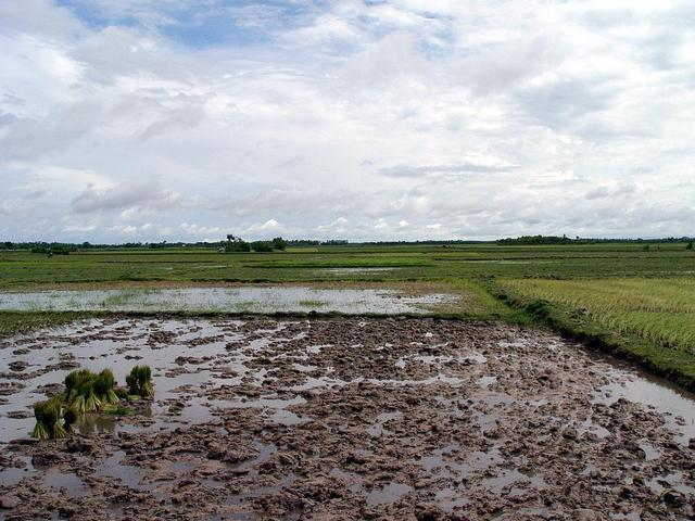 Even more paddy fields (north)