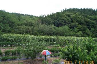 #1: Looking east; about 20 meters into this orchard is the confluence point.